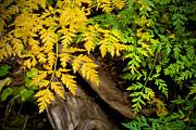 Mary Lee Dereske - Autumn Ferns