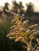 Goldenrod Wildflowers Prints - Autumn Frost on Goldenrod Flower Print by Anna Lisa Yoder