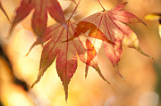 Backlit Photo Prints - Autumn Glow Print by Anne Gilbert
