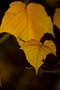 Autumn Leaves Photos - Autumn Gold by Aaron S Bedell
