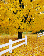 Alan L Graham - Autumn Gold