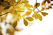 Autumn Leaf Posters - Autumn Gold Poster by Priska Wettstein