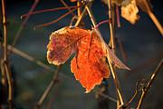 Autumn Grape Leaf Print by Charmian Vistaunet