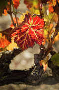 Grapevine Red Leaf Framed Prints - Autumn Grape Leaves Framed Print by Charmian Vistaunet