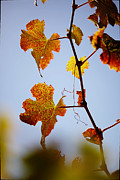 Blue Grapes Photos - Autumn Grapevine by Dry Leaf