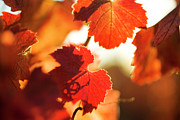 Grapevine Red Leaf Photo Posters - Autumn Grapevine Leaves Poster by Charmian Vistaunet