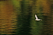 Featured On Fineart America - Autumn Gull by Sean Griffin