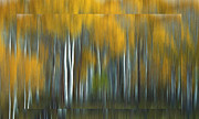 Wooden Mixed Media Metal Prints - Autumn in Aspen Metal Print by Stefan Kuhn