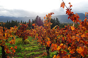 Autumn In The Vineyard Print by Becky Furgason