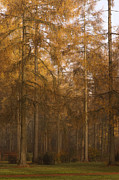 Mists Posters - Autumn Larch Poster by Anne Gilbert