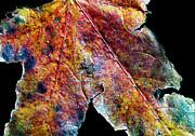 Russ Brown - Autumn leaf