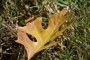 Fallen Leaf Photo Originals - Autumn Leaf by Ruth  Housley
