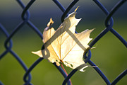 Tiny Leaves Prints - Autumn Leaf - Stuck on Fence Print by May L