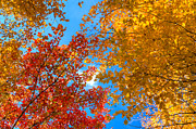Red Leaves Photos - Autumn Leaves Against the Sky by Matt Dobson