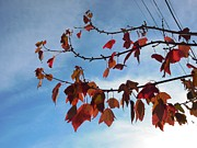 Berkeley Originals - Autumn leaves and blue sky in sunlight by Revital Katznelson