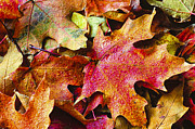 Shades Of Red Prints - Autumn Leaves Print by Christi Kraft