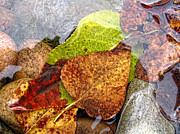 Brown Leaf Prints - Autumn Leaves in Water Print by Jennie Marie Schell