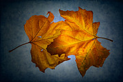Plane Tree Photos - Autumn Leaves on Blue by Ann Garrett