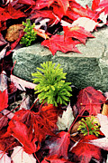 Cranberry Prints - Autumn Leaves on the Rocks - West Virginia Print by Dan Carmichael