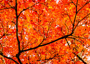 Peta Thames - Glorious Autumn Leaves