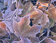 Futility Prints - Autumn Leaves Stacked And Frosted Print by Gary Slawsky
