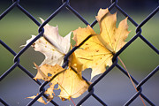 Tiny Leaves Prints - Autumn Leaves - Stuck on Fence Print by May L