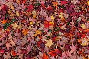 Autumn Leaf Posters - Autumn Leaves Poster by William Jobes
