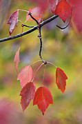 Southern Indiana Autumn Prints - Autumn Maple - D008640 Print by Daniel Dempster
