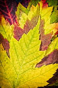 Texture Floral Prints - Autumn Maple Leaves Print by Adam Romanowicz