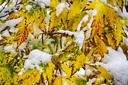 James BO  Insogna - Autumn Maple Leaves in The Snow