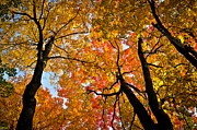 Yellow. Leaves Posters - Autumn maple trees Poster by Elena Elisseeva