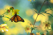 Monarch Metal Prints - Autumn Monarch Metal Print by Joel Olives
