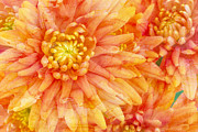 Green. Orange Framed Prints - Autumn Mums Framed Print by Heidi Smith