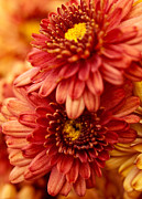 Shannon Workman - Autumn Mums