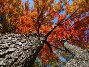 Tree Tops Posters - Autumn Nature Maple Trees Poster by Christina Rollo