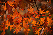 Tree Leaf Photo Prints - Autumn Oak Print by Steve Gadomski