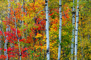 Birch Lake Prints - Autumn Palette Print by Mary Amerman