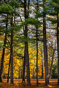 New England Fall Foliage Art - Autumn Pines by Bill  Wakeley