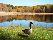 Outdoor Posters - Autumn Pond Goose Poster by Aimee L Maher