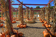 Country Scenes Metal Prints - AUtumn Pumpkin Patch Metal Print by Joann Vitali