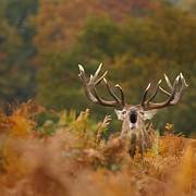 Izzy Art - Autumn red deer stag roars by Izzy Standbridge