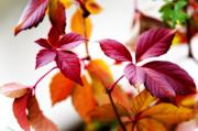 Jenny Rainbow - Autumn Red Leaves