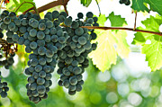 Merlot Posters - Autumn ripe red wine grapes right before harvest Poster by Ulrich Schade