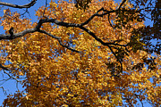Autumn Photos Originals - Autumn Rust and Golden Colors  by Ruth  Housley