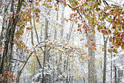 Williams Photos - Autumn Snow Forest by Thomas R Fletcher