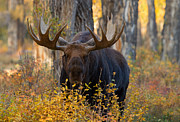 Bull Moose Posters - Autumn Sovereign Poster by Sandy Sisti