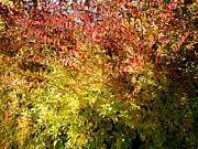 Forsythia Photos - Autumn Splendor 12 by Will Borden