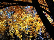 Backlit Prints - Autumn Splendor 3 Print by Will Borden