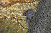 Iain S Byrne - Autumn Squirrel