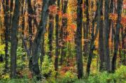 Colors Of Autumn Framed Prints - Autumn Sugar Maple, Yellow Birch And Framed Print by Thomas Kitchin & Victoria Hurst